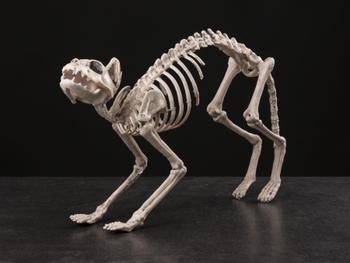 Skelett Katt